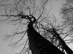 Up the trunk (pilechko) Tags: trees sky blackandwhite monochrome silhouette pennsylvania newhope bowmanshill