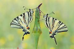 L'incontro... (daniele.rossi) Tags: macro nature colors closeup canon butterfly photo natura lepidoptera tuscany 7d farfalla coppia 2014 incontro farfalle papilionidae iphiclidespodalirius podalirio lepidottero rossidaniele