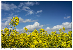 Springtime Field (Paul Simpson Photography) Tags: nature yellow spring farm farming bluesky crops naturalbeauty naturalworld springtime rapeseed yellowfields photosof photoof sonya77 paulsimpsonphotography