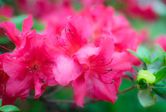 Azalea  bloom (Lo8i) Tags: saturday bloom theme week 17 ~ flickrlounge