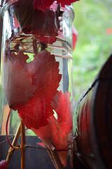 Autumn 2016 (graeme37) Tags: autumn red leaves vitus grapevine