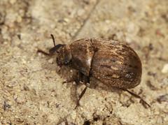 Pill Beetle - Byrrhus pilula (Prank F) Tags: macro nature closeup insect wildlife beetle pill wildlifetrust byrrhuspilula twywellhillsdales northantsuk