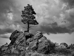 King of the hill (Marc Briggs) Tags: storm tree monochrome pine clouds dsc3513bw