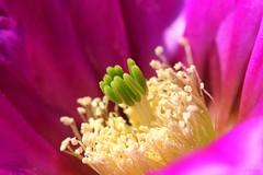 Echinocereus fendleri var. bonkerae (Fotos.Ralla) Tags: var echinocereus fendleri bonkerae
