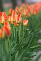 IMG_7964 (Five eyes) Tags: flowers flower holland color nature beauty garden spring dof tulips beds michigan fresh neighborhood beginning tuliptime promise lanes 2016