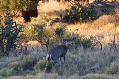 (o texano) Tags: texas desert wildlife westtexas muledeer guadalupemountainsnationalpark guadalupemountains chihuahuandesert