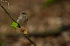 Finch female (Kamil C.) Tags: bird animal finch animalplanet da3004 k5ii
