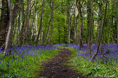 A Walk Through The Bluebells, 123/366 (crezzy1976) Tags: uk flowers nature bluebells woodland outdoors woods nikon 365 wirral day123 d3100 crezzy1976 photographybyneilcresswell 366challenge2016