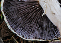Mushroom Gills (sea turtle) Tags: seattle winter mushroom arboretum wintergarden gill washingtonparkarboretum lamella dewittwintergarden