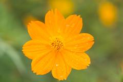 IMG_0987 (EraldoRodrigo) Tags: flores flower macro art nature canon agua artistic natureza flor amarelo fotografia margarida maceio alagoas naturelovers nicepic mcz aoarlivre