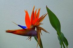 Single Bird Of Paradise Flower (gec21) Tags: newzealand flower panasonic nz napier hawkesbay 2015 dmctz20