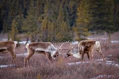 Butting heads (frostnip907) Tags: winter snow alaska reindeer wildlife caribou tundra taiga canon7d tamron150600mmf563spdivcusd
