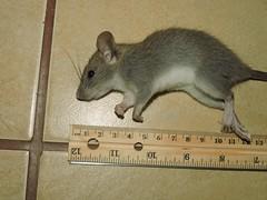 rodentia_05 (Reinaldo Aguilar) Tags: raton rodentia