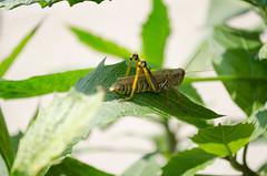 Praying Mantis Close Up Macro (N.Kolevski) Tags: macro green up mantis backyard close praying