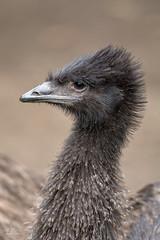 Emu Baby (ClaudiB.) Tags: animal animals tiere nikon emu 1001nights tierpark tier emubaby 1001nightsmagiccity nikond7100