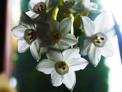 Backlit Narcissus (Alan FEO2) Tags: white plant flower leaves yellow stem bokeh trumpet indoor stamen narcissus 2oef