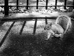 East Village #6 (laurent.breillat) Tags: voyage nyc newyorkcity travel usa ny us unitedstates manhattan unitedstatesofamerica nb newyorkstate animaux mammals mammalia rodentia etatsunis sciuridae sciuruscarolinensis easterngraysquirrel rongeurs mammifres sciurids ecureuilgris etatdenewyork