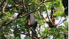 More from day 15 Sri Lanka (jaytee27) Tags: naturethroughthelens srilankaflyingfox