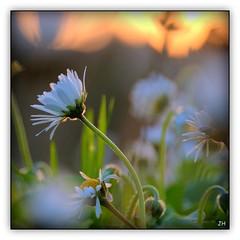 Les pquerettes du chteau (1) (au35) Tags: flower nature fleur soleil lumire soir paquerette bressuire chateaudebressuire
