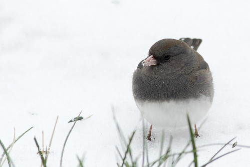 Junco in the Sleet