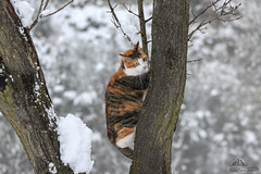 Monica In Vertical Tree Climbing  (Xena*best friend*) Tags: wood winter wild italy pet cats pets snow cold animal animals fur frozen chats furry woods feline flickr outdoor tiger freezing kitty kittens whiskers piemonte gato calico purr birch paws gatto mb katzen pussycat markings winterwonderland feral monicabellucci wildanimals madcats alleycatallies catsontrees piedmontitaly allrightsreserved canonef70300mm canoneos500d bravecats eosrebelt1i acrobaticcats