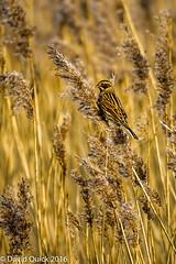 (DavidQuick) Tags: england reserve hampshire marsh wildlifetrust farlington reedbunting copyrightdavidquick2016