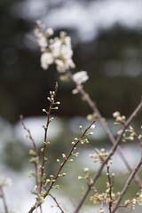 IMG_5925 (armadil) Tags: flowers flower backyard plum flowering plumtree plumflowers