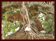 LEOPARD (Panthera pardus) ...MASAI MARA.....OCT 2015 (M Z Malik) Tags: africa nikon kenya wildlife ngc safari npc leopard masaimara maraserena d3x transmara flickrbigcats exoticafricanbirds exoticafricanwildlife 200400mm14afs