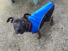 Strolla (MerlinAnimalRescue) Tags: rescue dog animal wales north bull terrier merlin staffie staffordshire sbt