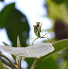 Mantis Religiosa (flachdla) Tags: macro garden mantis nikon religiosa d3100
