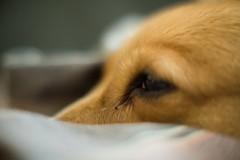 Maggie (Jeff Buchbinder) Tags: dog dogs animal animals corgi pembrokewelshcorgi maggie nikkor vintagelens 55mmf12 nikkor55mmf12 canon5dmk3