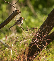 Field Sparrow... (calba) Tags: bird nature birds sanantonio nikon texas birding sparrow sanantoniotexas fieldsparrow texasnature nikon80400 mitchelllakeauduboncenter cathyalbaphotography cathyalba nikond750