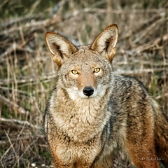 What are you doing? (morrobayrich) Tags: coyote droh canislatrans dailyrayofhope