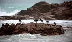 Oystercatchers (ReevesWild) Tags: bird nature jersey oystercatcher