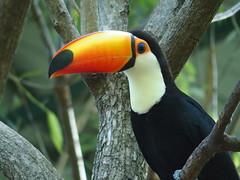 Toco toucan (Ramphastos toco) (Georgi Peshev) Tags: toucan bird temaiken argentina tucan тукан