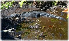Sawgrass Lake Park - St Petersburg, Florida (lagergrenjan) Tags: park lake st florida petersburg alligators sawgrass