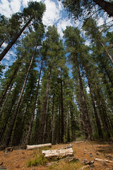 Tall Trees (Alicia Caruso) Tags: trees sky plants plant tree green texture nature pine clouds forest landscape log nikon outdoor sigma wideangle pineneedles adelaide southaustralia pinetrees conifer adelaidehills d7100 kuitpoforest