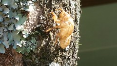 Cicada shell/case left on tree trunk (D70) Tags: tree abandoned cicada or trunk left exuviae exoskeletons shellcase 41366