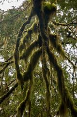 Wicked Look:  Moss-covered Tree Limbs (mharoldsewell) Tags: alaska d50 moss nikon photos nikond50 nikkor 2008 ketchikan mharoldsewell mikesewell
