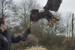 Bald Eagle (i2k14 (ian Brien)) Tags: bird out manchester ian eagle days prey brien gauntlet i2k14 ibrien14