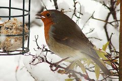 Robin (NTG's pictures) Tags: england snow robin weather birds garden cheshire wildlife snowday stalybridge tameside