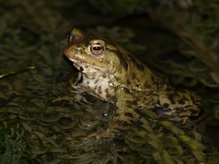 Common Toad (ukstormchaser (A.k.a The Bug Whisperer)) Tags: uk winter water animals pond wildlife amphibian toads february milton keynes common