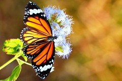 Striped Tiger (pallab seth) Tags: autumn india macro nature butterfly asia dof outdoor depthoffield lepidoptera bengal basking nymphalidae danainae tropicalbutterfly danausgenutia riverteesta stripedtiger nikond7000 tamronspaf70300mmf456divcusdlens   gajaldoba