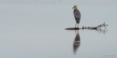 Solitude (craig goettsch) Tags: bird nature water nikon bravo florida wildlife ngc npc sanibelisland avian d600 dingdarlingnationalwildliferefuge greatblueheronardeaherodias