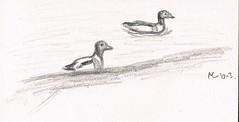 Bergeend1 (ArjanLoeve) Tags: bird art birds vogels birdwatching alblasserwaard vogel vv shelduck bergeend birdart avelingen vogeltekening