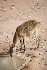 Cobo che beve (Mauro_Amoroso) Tags: wild nature animal animals zoo nikon adventures nationalgeographic natgeo nital lecornelle parcofaunistico nikonitalia parcofaunisticolecornelle