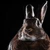 and the stars fade all around me (Jeric Santiago) Tags: pet rabbit bunny animal conejo lapin hase kaninchen petportrait cyndilauper うさぎ 兎 winterrabbit hymmtolove