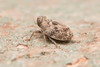 Issidae. (David Ball.) Tags: singapore issidae canon270ex isidplanthopper