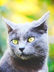 Cosmo (Sophia Ann Steele) Tags: pet cats pets green nature animal animals cat blackcat garden bright graycat greycat kittycat