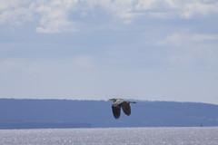 Heron (5) (Mal.Durbin Photography) Tags: nature birds newport naturereserve newportwetlands maldurbin goldcliffnewport